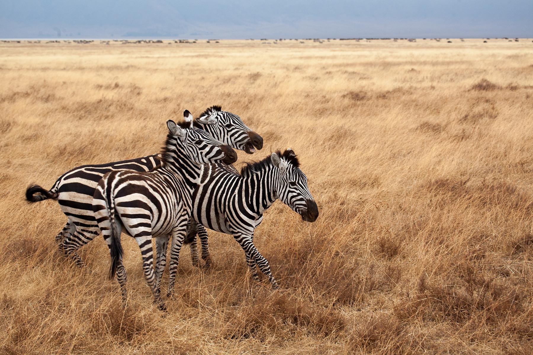 Zebras in African landscape
