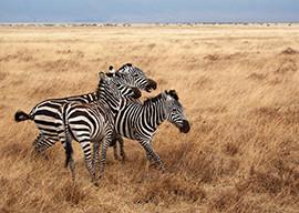 Group of Zebras in African landscape