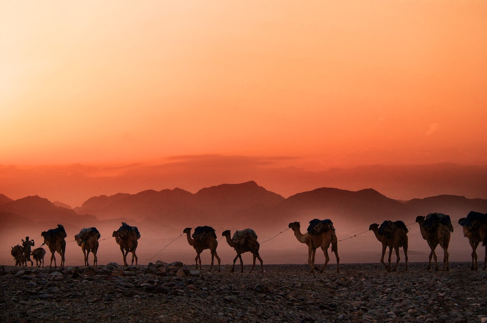 A group of camel in Ethiopia walk in front of the sunset