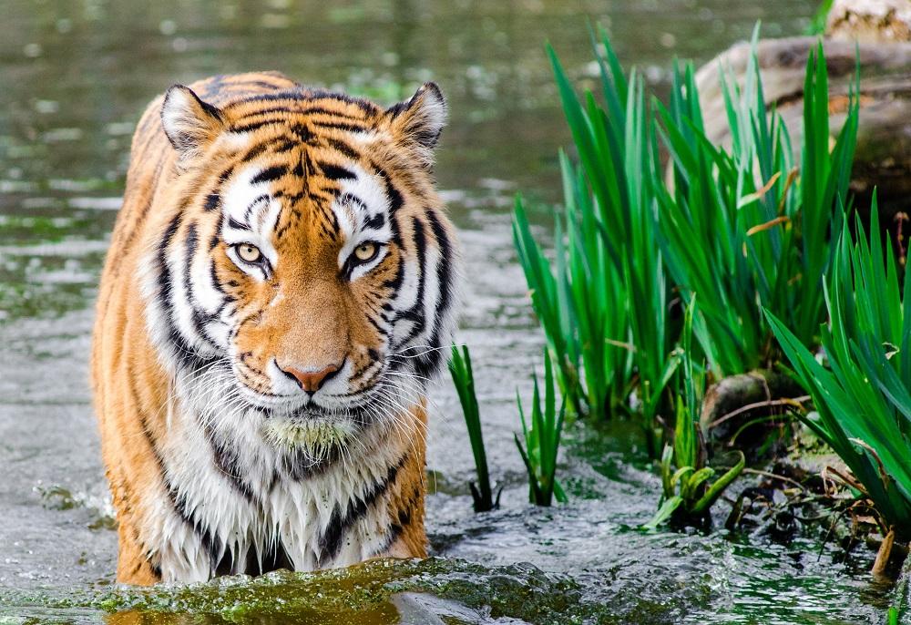 Tiger walking through water looking at the camera