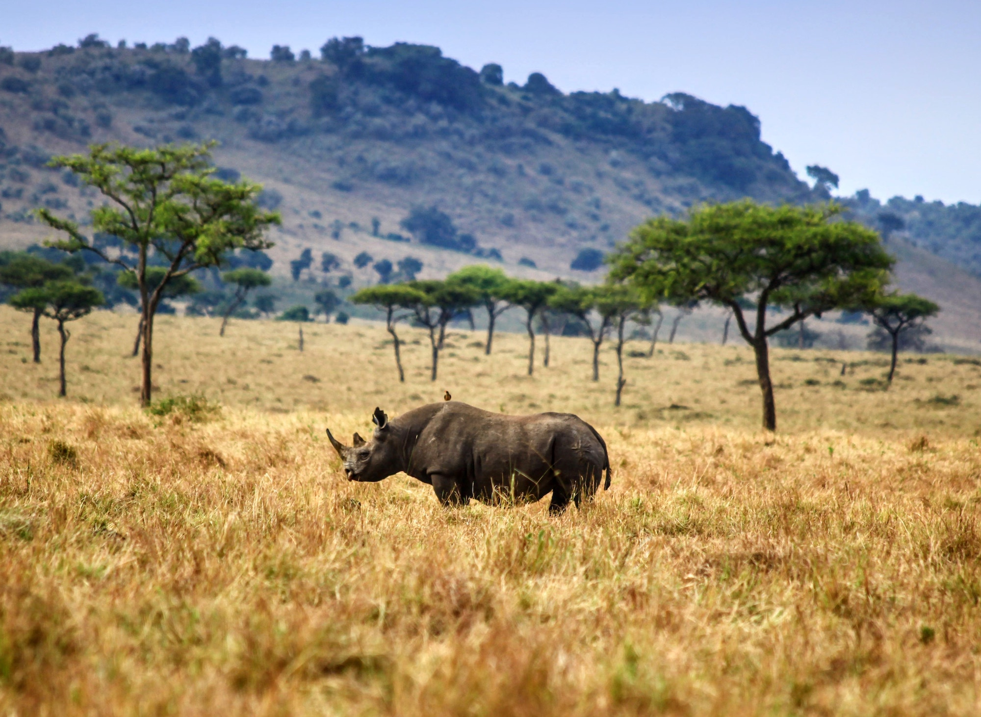 A rhino walking through yellow grass in the southern African bush