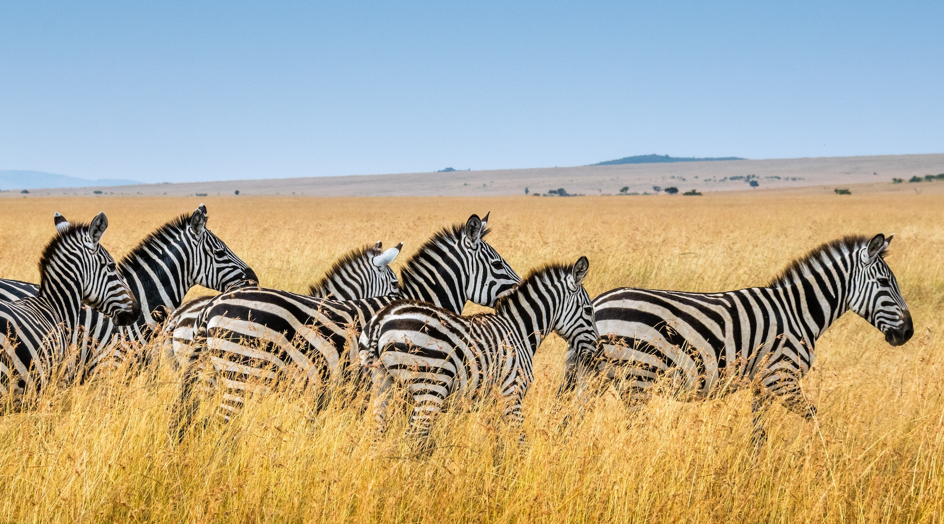 A herd of zebra in bright yellow grass